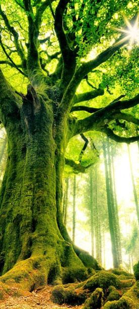 arbre et soins energetiques